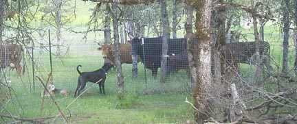 Wow!  Cows!
